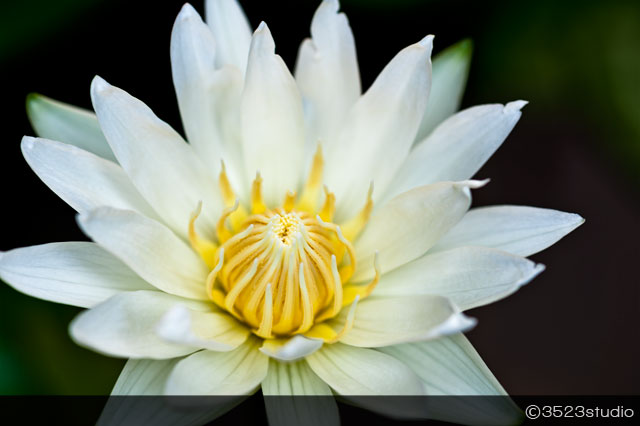 3523studio-white-lotus